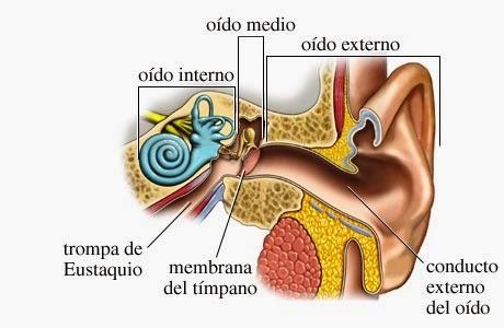El oído externo oído medio y oído interno y sus partes | Material ...